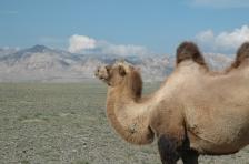 Camello en Uvs, Mongolia, Foto por Mi Lawrence