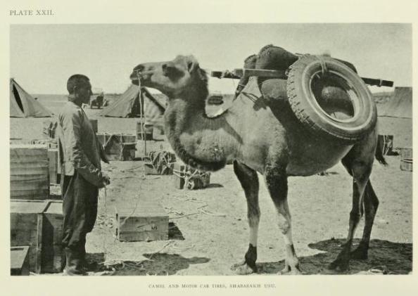 Camello de apoyo a la expedición de Roy Chapman Andrews en Mongolia